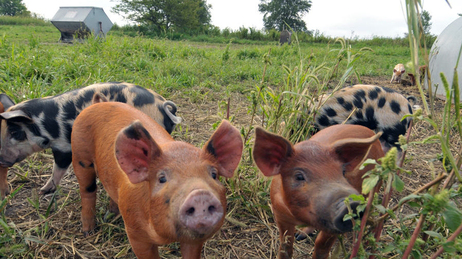 The antibiotic-free pigs roam freely on Niman Ranch in Iowa.